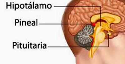 qué es la glándula pineal y cómo se activa